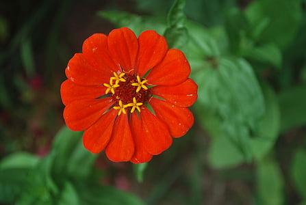 flor, Zinnia, vermell, brillant, pètals, macro