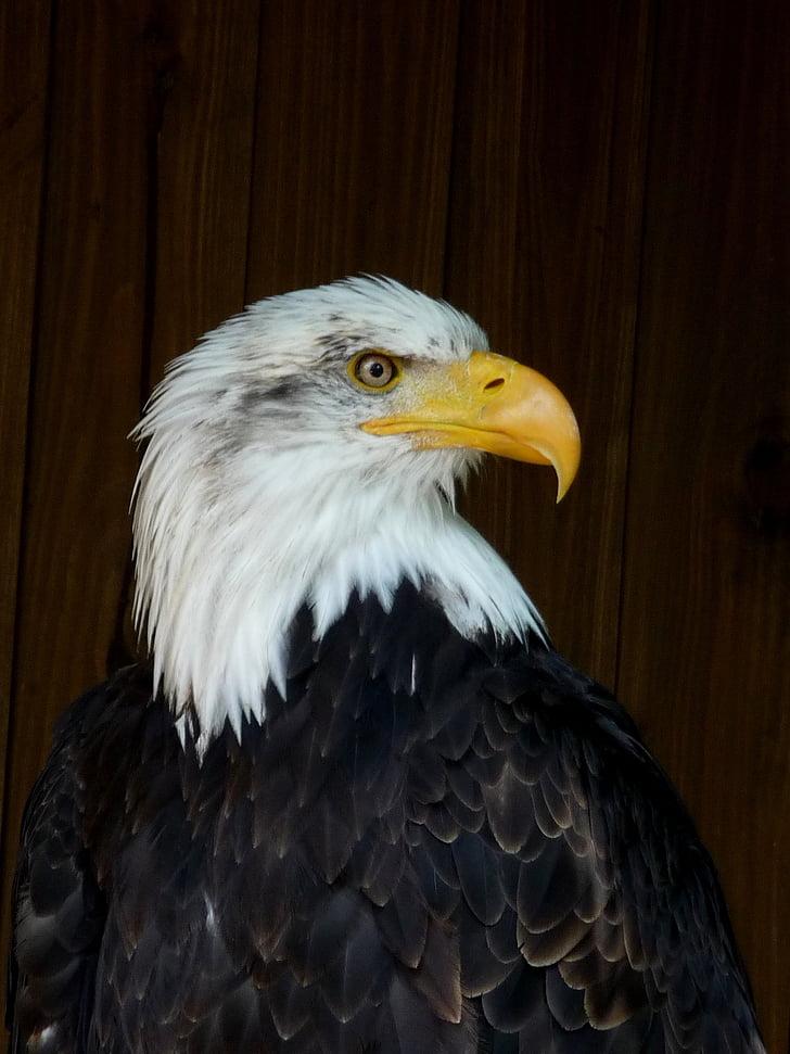 sea eagle, bird, eagle, predator, breeding raptors