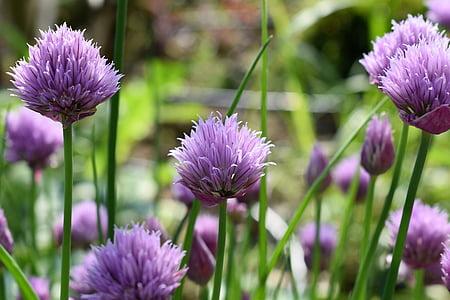 cebollino, flor, floración, púrpura, naturaleza, planta, especia de la cocina
