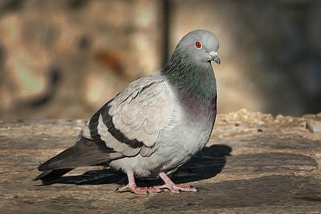 Dove, vták, vták holub, vtáky, pierko, Príroda, perie
