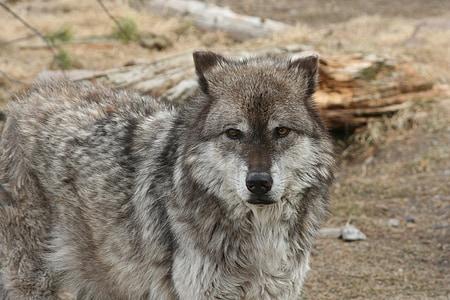wolf, animal, yellowstone, mammal, canine, carnivore, wildlife