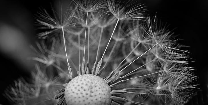 võilill, seemned, Sulgege, Makro, võililleseemned, vihmavari, lendavad seemned