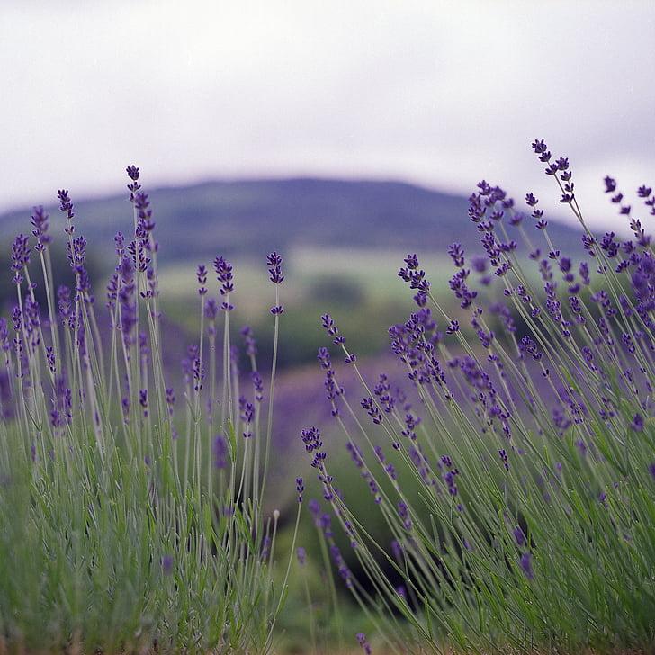 levanduľa, Príroda, letné, kvet, prírodné, vôňa, kvet