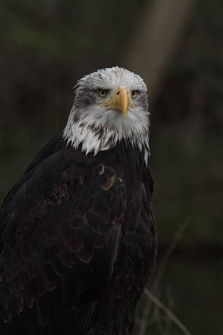 adler, raptor, bird of prey, bird, bill, white tailed eagle, coat of arms of bird