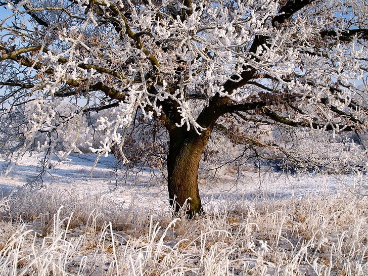 winter, ice, frost, ripe, sugar, frozen, winter dream