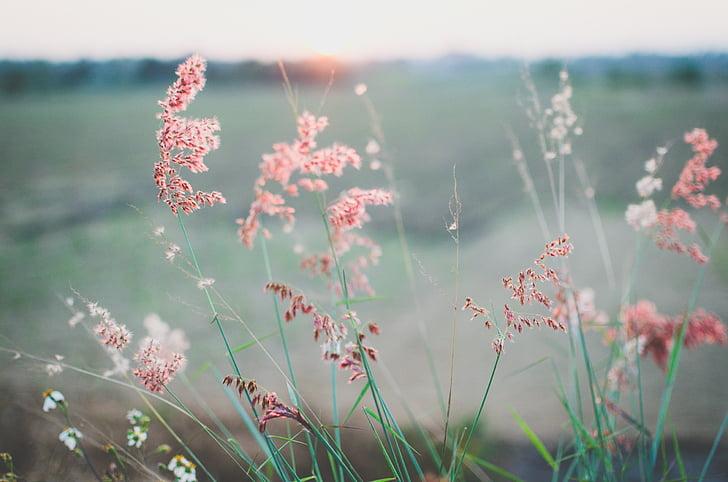 blomster, felt, sommer, forår, plante, græs, udendørs