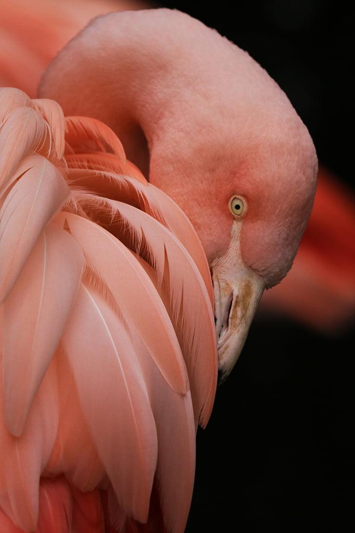Фламинго, птица, природата, Зоологическа градина, розово, пера, розово Фламинго