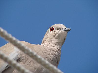 Dove, silmät, lintu, kyyhkyt, eläimet, punaiset silmät