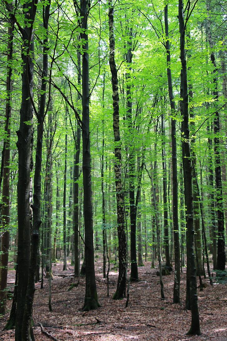 metsa, puud, Baieri mets