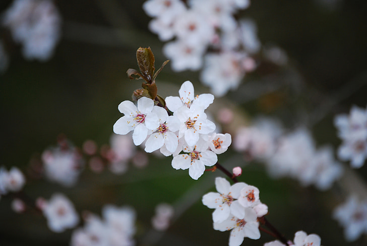 cherry blossom, blossom, flower, cherry tree, branch, cherry tree branch, bloom