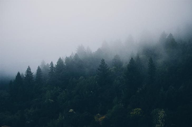nåletræer, grantræer, tåge, tåget, skov, diset, tåget