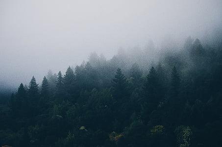 хвойних дерев, ялинки, туман, Туманний, ліс, туманні, туманні