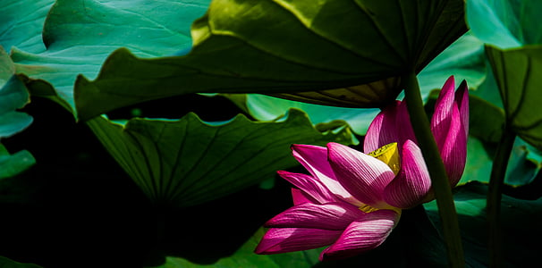 lotus, flower, plant, vegetation, nature, lotus Water Lily, water Lily