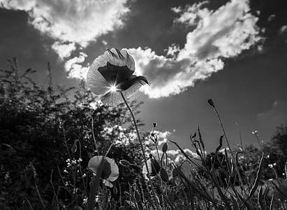 poppy, grass, flower, meadow, green, plant, clouds