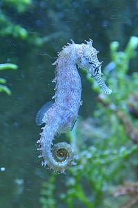 seahorse, fish, water, sea, animal, underwater, nature