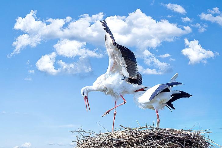 щъркел, птица, животните, лети, бял щъркел, Дрънкалка щъркел, природата