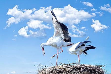 haikara, lintu, eläinten, lentää, kattohaikara, Rattle stork, Luonto