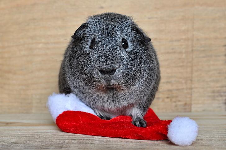 Guinea pig, Taisniem matiem, melnā un baltā OS, Santa hat