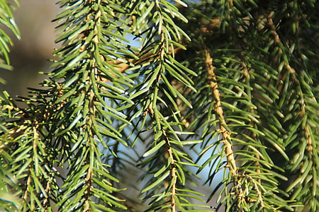 pine needles, fir, needles, branches, aesthetic, green, forest