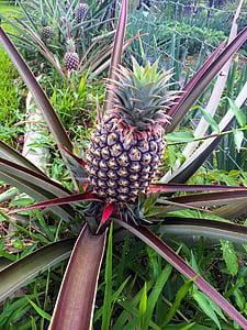 pineapple plant, pineapple, fruit, plant, green, tropical, organic