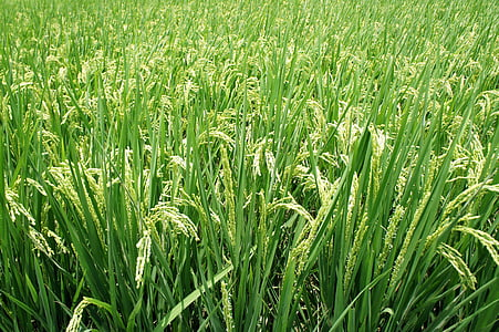plant, rice, spike, green, agriculture, nature, farm