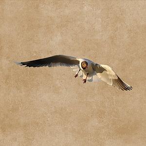 uccello, Gabbiano, volare, piumaggio, disegno, di volo, un animale
