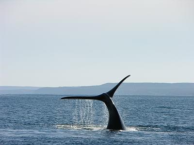 Whale, Argentina, Patagonia, södra, södra argentina, naturen, landskap