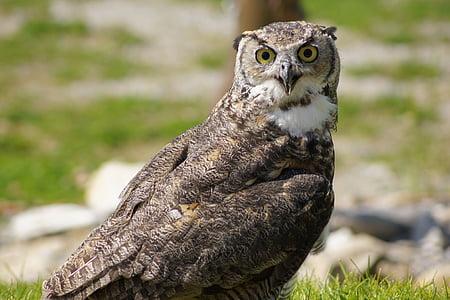 owl, raptor, bird, bird of prey, plumage, animal, feather