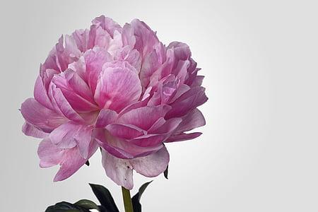 Pfingstrose, Blüte, Bloom, Rosa, weiß, Frühling, Blume
