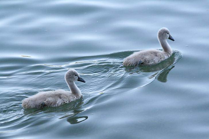 baby swan, baby swans, swan, swans, water, lake, nature