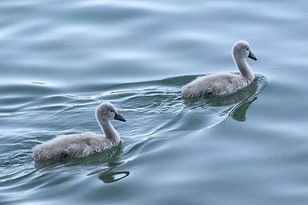 赤ちゃん白鳥, 赤ちゃん白鳥, スワン, 白鳥, 水, 湖, 自然