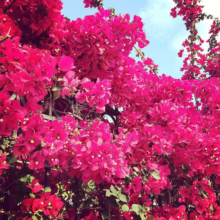розовый, Фуксия, Бугенвиль, Цветы, Блум, Блоссом, цвет