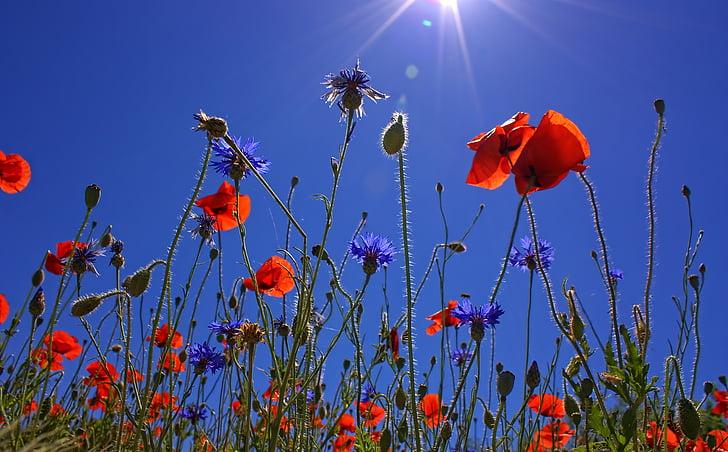 field of poppies, sun, spring, nature, summer, poppy flower, red