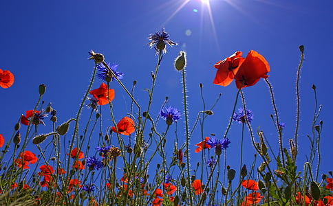 field of poppies, sun, spring, nature, summer, poppy flower, red