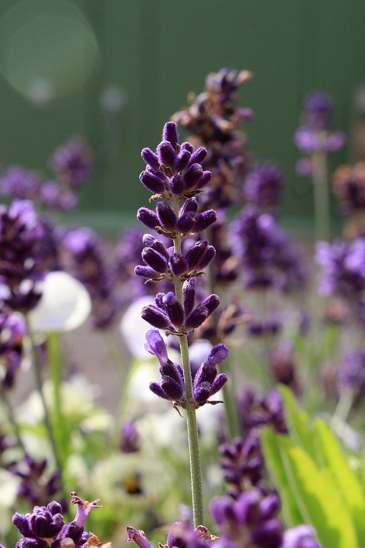 flor d'espígol, violeta, aromateràpia, natura, planta, natural, herba