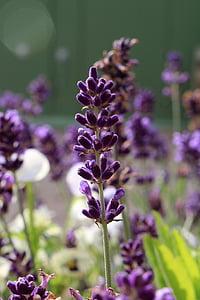 라벤더 꽃, 바이올렛, 아로마 테라피, 자연, 공장, 자연, 허브