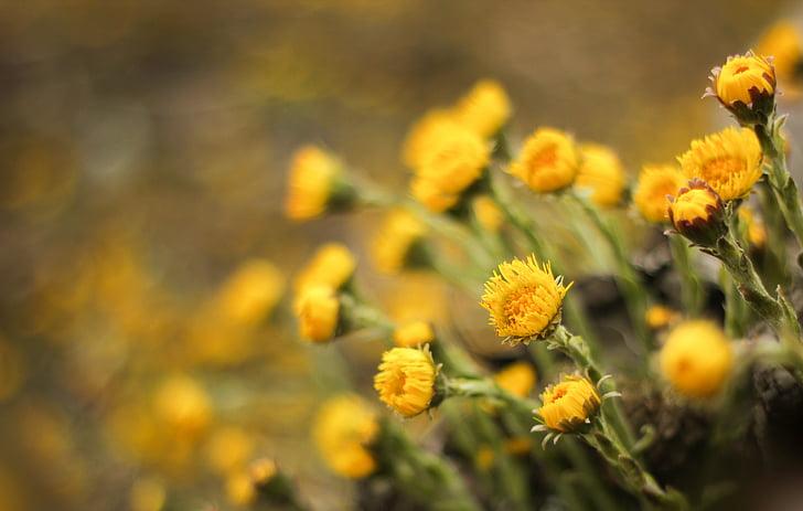 pota de cavall, flors, planta medicinal, Tussilago, flors de primavera, primavera, groc