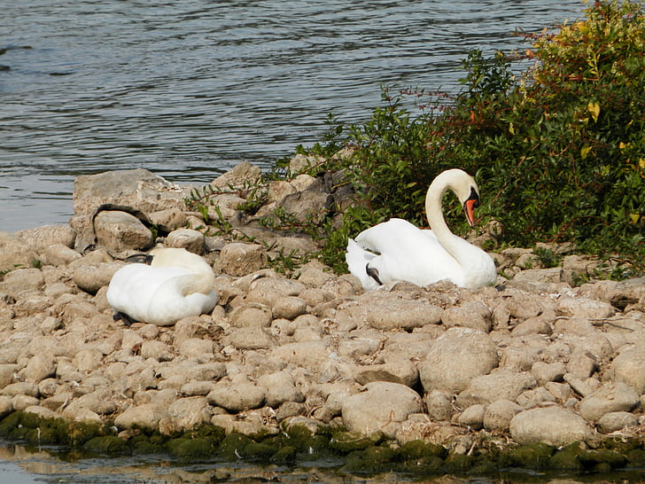 swan, swans, animals, lake, sleeping, sleep