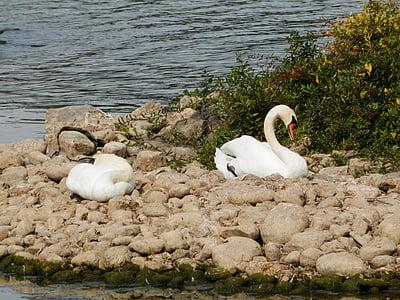 labuť, labutě, zvířata, jezero, spící, spánek