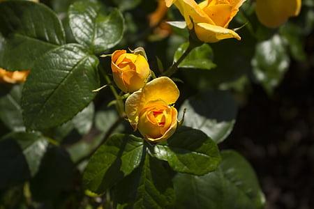 tõusis, loodus, kollane roos, roosi aed, lill, õis, Bloom