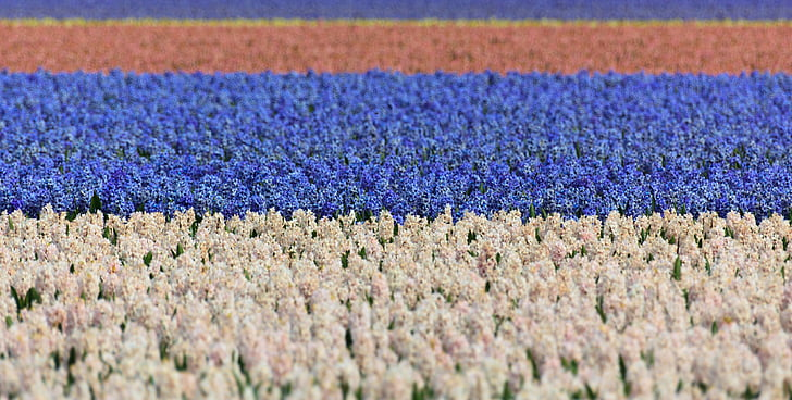 hyacinth, field, fields, blue, white, background, wallpaper