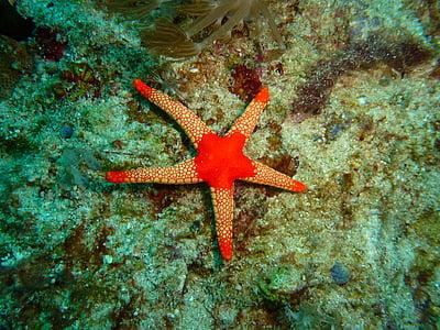 zvaigžņu zivs, Filipīnas, zemūdens, tropu, jūras, Daivings, jūra