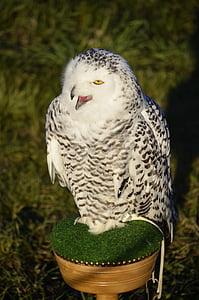 올빼미, 독수리 올빼미, 깃털, 새, 랩 터, 매 사냥, 깃털