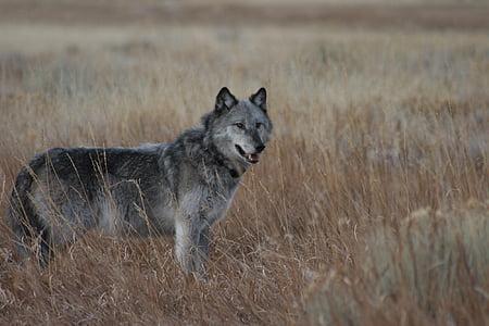wolf, wild, looking, wildlife, mammal, predator, fur