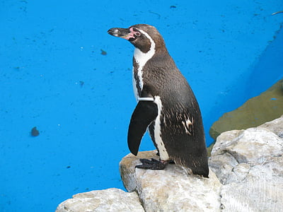 water, penguin, penguins, bird, birds, animal, animals
