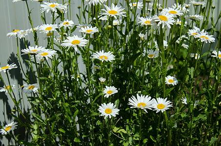 chamomile, flowers, daisy, white, closeup, bloom, june