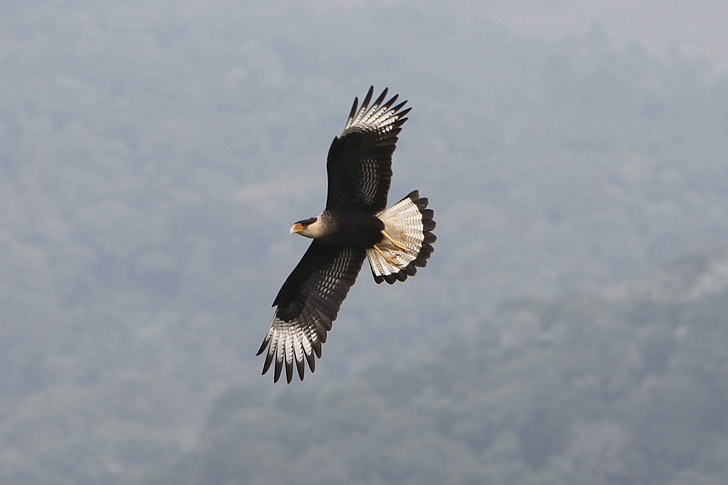 hawk, bird, prey, animal, nature