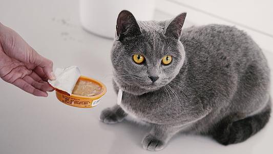 cat mia, blue cat's, pet, pets, domestic Cat, animal, domestic Animals