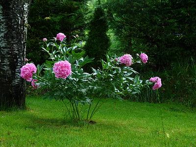 flors, natura, jardí, Peònia Rosa, florit, pètals, floració
