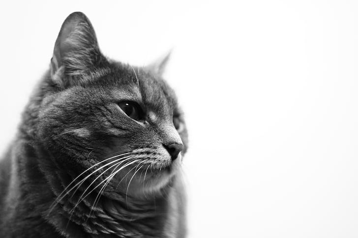 animal, black-and-white, cat, pet